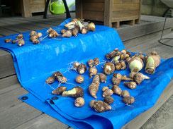 里芋を干しています