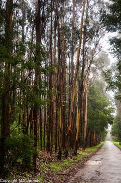 Eukalyptuswald Eukalyptusbäume Wald