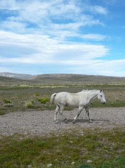 weisses Pferd in der Argentinischen Pampa