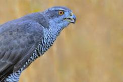"""""""Der Habicht - Vogel des Jahres 2015.   Foto: Peter Kühn"""""""