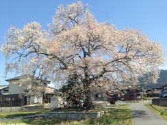 恵那市東野の桜