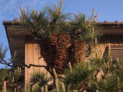 蜜蜂の分蜂 何千匹いるか分からないぐらいいます