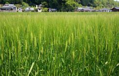 麦 畑 風 景