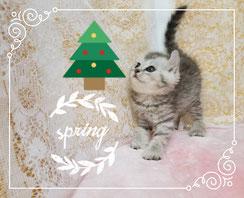 格安販売。埼玉・猫の部屋セイワ!アメリカンカールの子猫です。