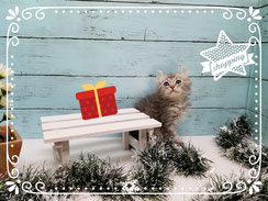 アメリカンカール子猫の激安販売【関東・埼玉】ブリーダーから直接お迎えで、安心・安い!
