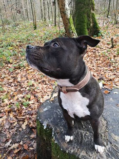 Lüti Hunde halsband - vintage Leder, nickelfrei, massiv, swiss made
