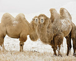 Kamelwolle ist nicht Kamelhaar