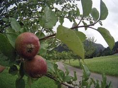 Apfelbaum Bayern Äpfel