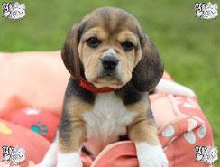 ec chiens chiot qui va beneficier de leçons en education canine pour avoir une bonne education chiot