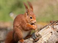 Eichhörnchen (Bild: Wolfgang Kiesewetter)