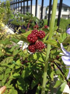 実のなる植木 ブラックベリー