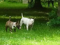 Mini Bulli Daisy und Standard Bulli Emma