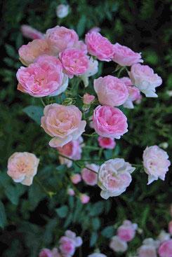 Scarman Rose 'Mozart´s Lady'