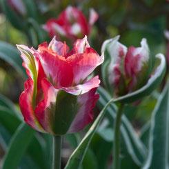 Tulipa viridoflora 'Esperanto'