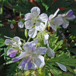Geranium pratense 'Splish Splash'