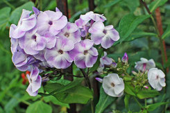 Phlox paniculata 'Violetta gloriosa'