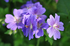 Geranium pratense Hybride  'Johnson´s Blue'