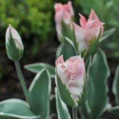 Tulipa viridiflora 'Chinatown'