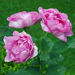 Scarman-Rose 'Border Queen'
