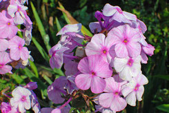 Phlox maculata 'Magnifience'
