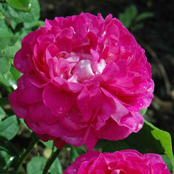 Scarman-Rose 'Rosabella'