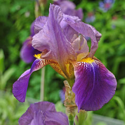 Iris germanica vermutl. 'Lent A. Williamson'