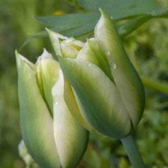 Tulipa viridiflora 'Spring Green'