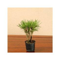 苗:黒松寄せ 樹高約12cm、2号ポット