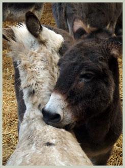 Groomende ezels - Foto: De Ezeloase