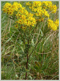 St.Jacobskruiskruid: plant in bloei.