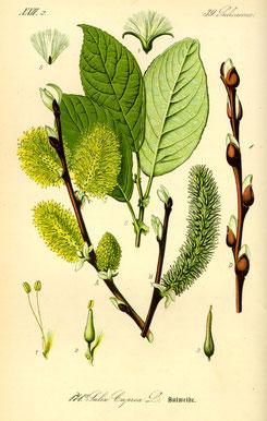 Illustration Salweide (Salix caprea) - www.BioLib.de