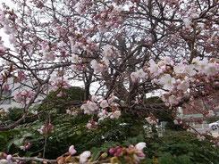 こんな風に桜が満開となります!(イメージ)
