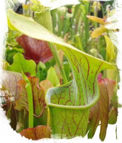 Schlauchpflanze Sarracenia Oreophila