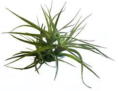 Aeranthos con Tenuifolia