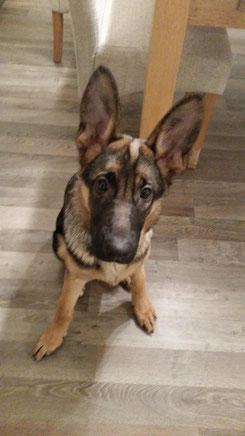 Nora, deutscher Schäferhund