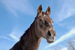 Pferd Atemzüge