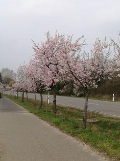 Mandelblüte Wachenheim Weinstraße