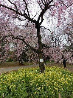 ●枝垂桜の木の下に菜の花も