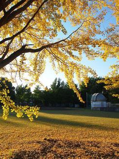 ●天文台敷地内の黄葉(イチョウ)