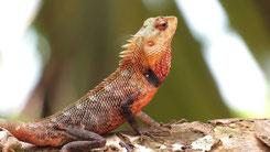 Common Garden Lizard, Verschiedenfarbige Schonechse, Calotes versicolor