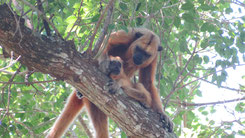 Black Howler Monkey, Schwarzer Brüllaffe, Alouatta caraya