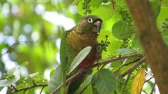 Maroon-bellied Parakeet, Braunohrsittich, Pyrrhura frontalis
