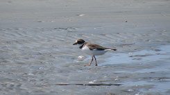 Little-ringed Plover, Flussregenpfeifer, Charadrius dubius