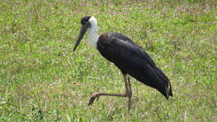 Woolly-necked Stork, Wollhalsstorch, Ciconia episcopus