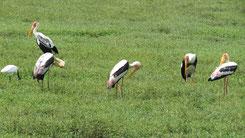 Painted Stork, Buntstorch, Mycteria leucocephala