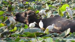Water Buffalo, Wsserbüffel, Bubalus bubalis
