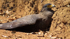 Crested Serpent eagle, Schlangenweihe, Spilornis cheela
