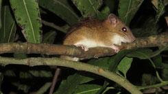 Asiatic long-tailed climbing mouse, Asiatische Langschwanz-Klettermaus, Vandeleuria oleracea