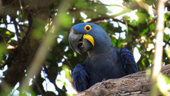Hyacinth Macaw, Hyazinthara, Anodorhynchus hyacinthinus
