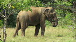 Sri Lankan Elephant, Sri-Lanka-Elefant, Elephas maximus maximus